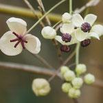 補足写真1a アケビの花(なるかわ園地)