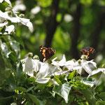 写真1c ヤマボウシとテングチョウ(中部園地 らくらく道)