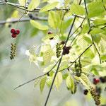補足写真1b アケビの花、新緑、つる(くろんど園地)