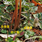 写真2 フユノハナワラビ(根元と栄養葉)