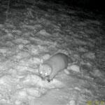 野生動物の夜間活動調査(雪のテン)