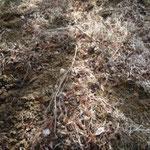 イノシシの掘り返した跡