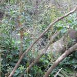 新しい芽をのばすコバノミツバツツジ