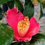 補足2a ツバキの花