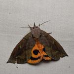 補足写真2 アケビコノハの成虫(出典 Wikipedia)