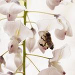 写真5. フジの送粉作戦にはまったミツバチ