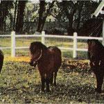 1968, les poneys Shetland Paquita et Lancelot et l'ânesse Samba © Maisons de campagne n°10