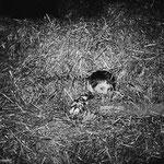 En novembre 1965, Mehdi dans une botte de paille © gettyimages
