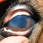 Hornhautentzündung bei einem Pferd