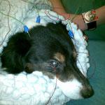 ERG Untersuchung bei einem Hund in Sedierung