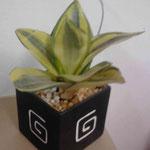 Maceta cubo con agave portugues $ 40.00