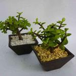 Maceta Cono Mini Con Planta ( Pata Elefante, Arbol Abundancia, Bambu) $35.00