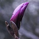 10 Magnolie