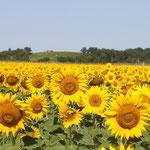 Apprécier les champs de tournesols et les couleurs du sud ouest / Au mas de Janita ©