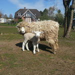 Julius Vater Gotlandpelzschaf Mutter Devon Longwool Giggi