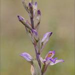 Violetter Dingel (Limodorum abortivum), Mallorca 2011