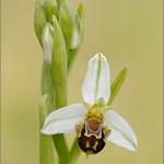 Bienenragwurz (Ophrys apifera), Mallorca 2011