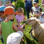 Die Schafe werden mit Salat und anderen Leckereien gefüttern.