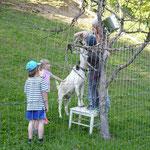Jetzt wird abgemessen, wer ist größer - Ziege oder Kind?
