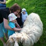 Die Schafe dürfen getreichelt werden, sie haben ein ganz kuscheliges Fell!