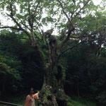 2014/9/22 武雄神社の大楠