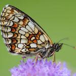 Melitaea athalia - Wachtelweizen-Scheckenfalter
