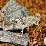 Spingonotus caerulans, Blauflügelige Sandschrecke, Männchen