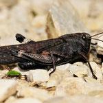 Psophus stridulus, Rotflüglige Schnarrschrecke, Männchen