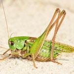 Decticus verrucivorus, Warzenbeißer, Männchen
