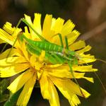 Leptophyes albovittata, Gestreifte Zartschrecke, Weibchen