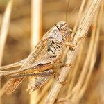Platycleis albopunctata, Westliche Beißschrecke, Männchen