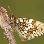 Melitaea aurelia - Ehrenpreis-Scheckenfalter