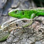 Lacerta agilis, Zauneidechse, Weibchen & Männchen