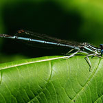 Platycnemis pennipes, Blaue Federlibelle, Männchen