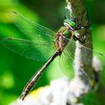Cordulia aenea, Gemeine Smaragdlibelle, Männchen