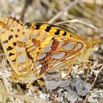Issoria lathonia - Kleiner Perlmuttfalter, Kopula