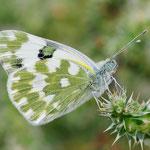 Pontia edusa, Östlicher Weißling, Italien