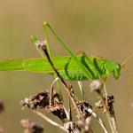 Phaneroptera falcata, Gemeine Sichelschrecke, Männchen