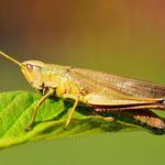 Chrysochraon dispar, Große Goldschrecke, Weibchen