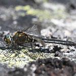 Somatochlora alpestris, Alpen-Smaragdlibelle, Weibchen, Schweden