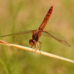 Crocothemis erythraea, Feuerlibelle, Weibchen