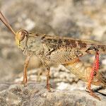 Calliptamus italicus, Italienische Schönschrecke, Männchen