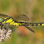 Gomphus vulgatissimus, Gemeine Keiljungfer, Weibchen