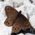 Lasiommata petropolitana - Kleines Braunauge