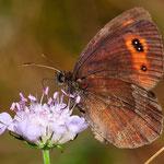 Erebia aethiops - Graubindiger Mohrenfalter