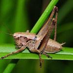 Pholidoptera griseoaptera, Gewöhnliche Strauchschrecke, Männchen