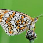 Melitaea phoebe, Flockenblumen-Scheckenfalter