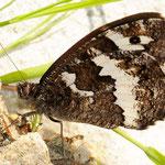 Brintesia circe - Weißer Waldportier, Rumänien