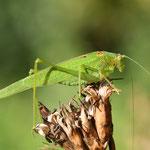 Phaneroptera nana, Vierpunktige Sichelschrecke, Männchen