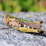 Omocestus viridulus, Bunter Grashüpfer, Weibchen
